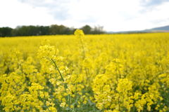 Field of yellow flowering oilseed rape isolated on a cloudy blue sky in springtime (Brassica napus), Blooming canola. Rapeseed plant landscape. Slovakia Stock Image