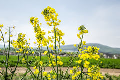 Field of yellow flowering oilseed isolated on a cloudy blue sky in springtime (Brassica napus), Blooming canola Stock Photography
