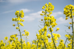 Field of yellow flowering oilseed isolated on a cloudy blue sky in springtime (Brassica napus), Blooming canola Stock Photo