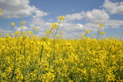 Field of yellow flowering oilseed isolated on a cloudy blue sky in springtime (Brassica napus), Blooming canola Stock Photos