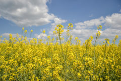 Field of yellow flowering oilseed isolated on a cloudy blue sky in springtime (Brassica napus), Blooming canola Royalty Free Stock Photography