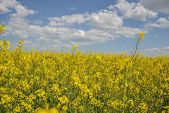 Field of yellow flowering oilseed isolated on a cloudy blue sky in springtime (Brassica napus), Blooming canola Royalty Free Stock Image