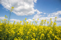 Field of yellow flowering oilseed isolated on a cloudy blue sky in springtime (Brassica napus), Blooming canola Royalty Free Stock Photos
