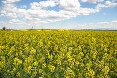 Field of yellow flowering oilseed isolated on a cloudy blue sky in springtime (Brassica napus), Blooming canola Stock Images