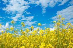Field of yellow flowering rape and a blue sky stock photo