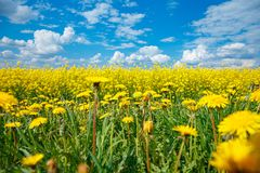 Field of yellow flowering rape and a blue sky royalty free stock images