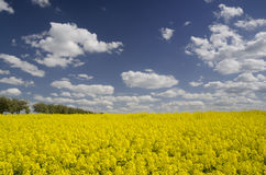 Field of yellow flowering rape Stock Photography