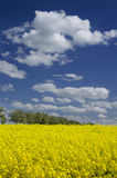 Field of yellow flowering rape Royalty Free Stock Images