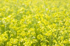 The field of yellow flowering rapeseed is a Macro Selective focus. Flower natural background stock image