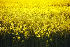 Field of yellow flowering rapeseed plants with recently ploughed brown field in background. Royalty Free Stock Photography