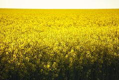 Field of yellow flowering rapeseed plants with recently ploughed brown field in background. Stock Images