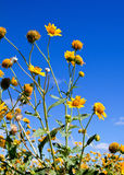 A field of yellow flowers. Against a bright blue sky Stock Photography