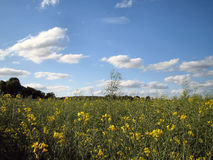 Field with yellow flowers. Field with yellow flowers, showing blue sky & clouds Stock Photos