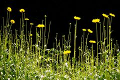 Field of yellow flowers. Field of tall, yellow flowers Royalty Free Stock Image