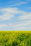 Field of Yellow Flowers. Yellow Flowering Plants in a Field Against a Blue Sky Stock Photos