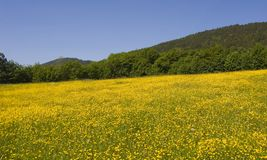 Field of yellow flowers. A field of yellow flowers in summer stock image