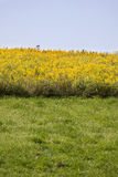 Field of Yellow Flowers. Yellow flowers in bettwen grass and sky Stock Photography