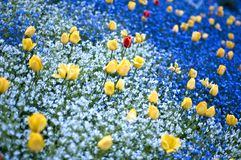 Field with yellow flowers. Yellow tulips in the red and white flowers field Royalty Free Stock Images