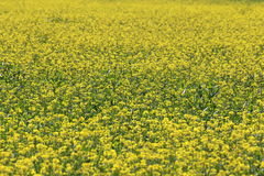 Field with yellow flowers Stock Photography