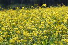 Field with yellow flowers Royalty Free Stock Photo