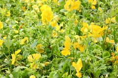 Field of yellow flowers background Royalty Free Stock Images
