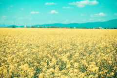 Field with yellow flowers and blue sky Royalty Free Stock Photography