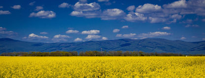 Field with yellow flowers and blue sky Stock Photo