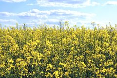 Field of yellow flowers and blue sky with clouds. Sunny day Stock Photography