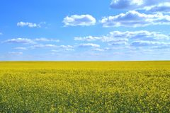Field of yellow flowers and blue sky with clouds. Sunny day Royalty Free Stock Photo