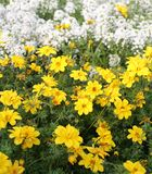 Field of yellow flowers called Bidens in spring Royalty Free Stock Image