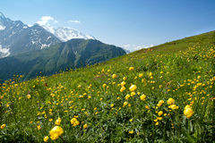 The field of yellow flowers Stock Images