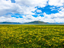 Field of yellow flowers and cloudy blue sky Royalty Free Stock Photography