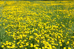 Field of yellow flowers  dandelions. Stock Photos