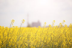 Field of yellow flowers. And direct sunlight Royalty Free Stock Images
