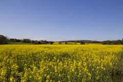 Field with yellow flowers Stock Photo