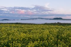 Field with yellow flowers and fog at dawn. Field with yellow flowers and fog at dawn in summer Royalty Free Stock Image