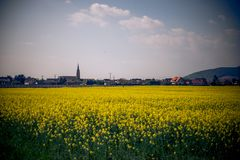 A field of yellow flowers in france. This image features a field of yellow flowers in france stock image