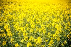 A field of yellow flowers in france. This image features a field of yellow flowers in france royalty free stock photo