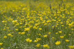 Field with yellow flowers. On grass Royalty Free Stock Photography