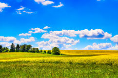 Field of yellow flowers with and green meadow Royalty Free Stock Image