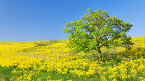 Field of yellow flowers and green tree Royalty Free Stock Photo