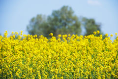 Field of yellow flowers intentionally blurred Stock Image