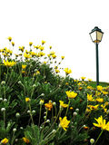Field of yellow flowers with lamp. Field of yellow flowers and lamp on white background Royalty Free Stock Photography