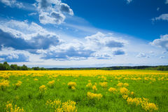 Field with yellow flowers Stock Photos