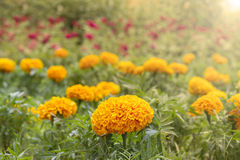 Field of Yellow flowers lit by the light. Macro Stock Photos