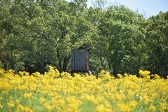 Rustic Deer Stand in a field of yellow flowers. Field of yellow flowers with an old wooden rustic deer stand Stock Photo