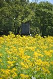 Rustic Deer Stand in a field of yellow flowers. Field of yellow flowers with an old wooden rustic deer stand Royalty Free Stock Photography