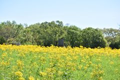 Rustic Deer Stand in a field of yellow flowers. Field of yellow flowers with an old wooden rustic deer stand Stock Photos
