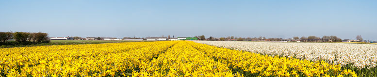 Field of yellow flowers. Panorama. Field of yellow flowers - Narcis. Dutch flower industry. Wide shot, panorama Stock Image