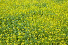 Field of yellow flowers, rape. Stock Photography